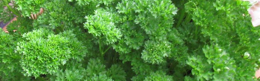 Petersilie macht das Essen grün